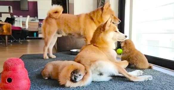 【家族団らん♡】4匹仲良く暮らす柴犬一家! 優しさに満ちた日常に、胸がホッコリ(*´ェ`*)♡