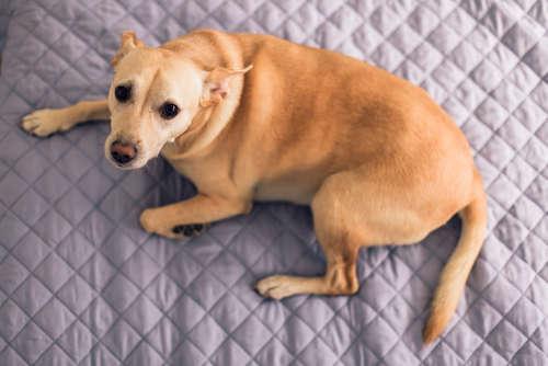 犬の肥満細胞腫 考えられる原因や症状、治療法と予防法