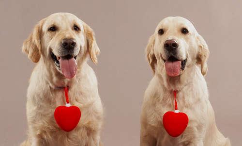 【獣医師監修】愛犬に仔犬を産ませるためには。犬を交配させる際の注意点