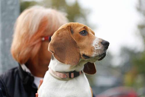 犬が飼い主の言うことを聞かない。権勢症候群(アルファシンドローム)の原因と対策