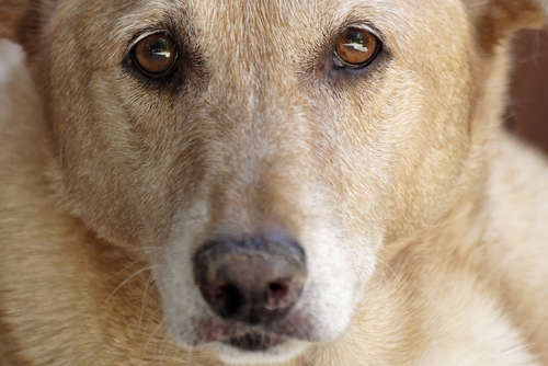 犬の瞳孔が開く。緑内障の症状と対処法