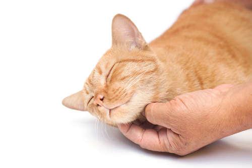 猫が喉をゴロゴロ鳴らす意味は?  病気のサインであることも