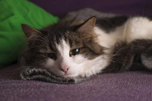 猫の糖尿病性ケトアシドーシス 考えられる原因や症状、治療法と予防法