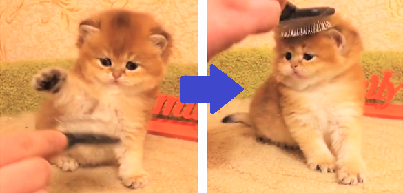 【へにょ~ん】ペシペシとブラシに戦いを挑む子猫 → いざ、ブラッシングされると…(*´Д`)♡
