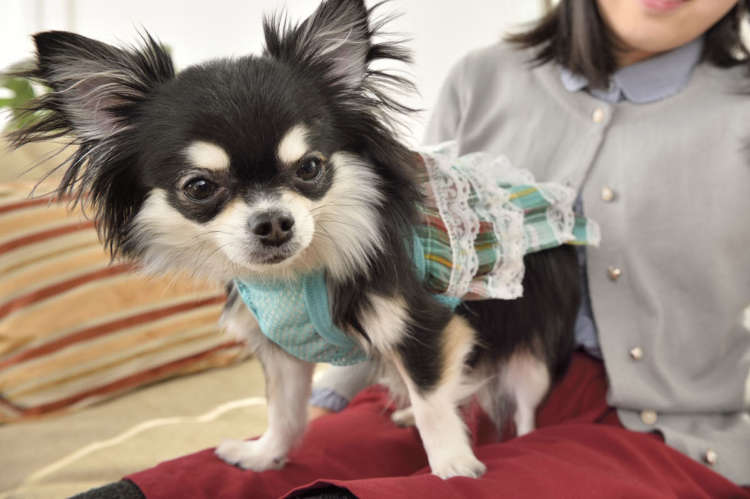 Image result for chihuahua 犬 抱きしめる