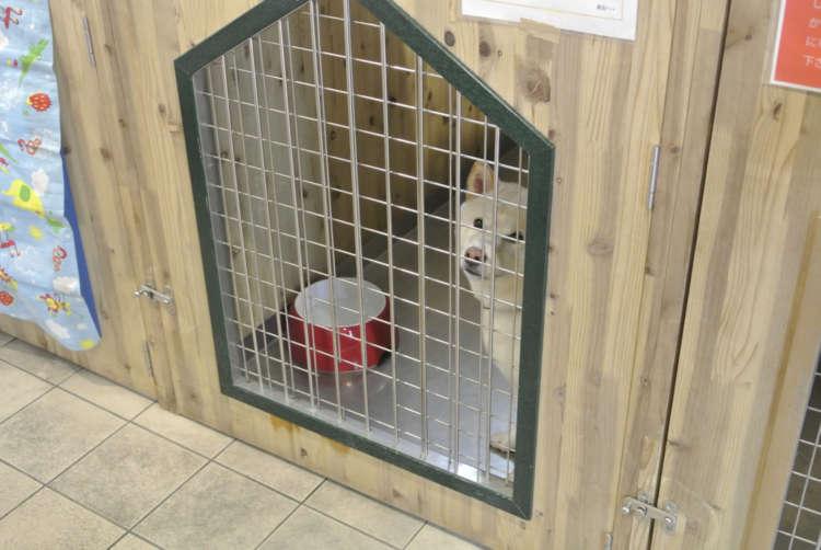 寂しそうに見上げる日本犬系の保護犬。
