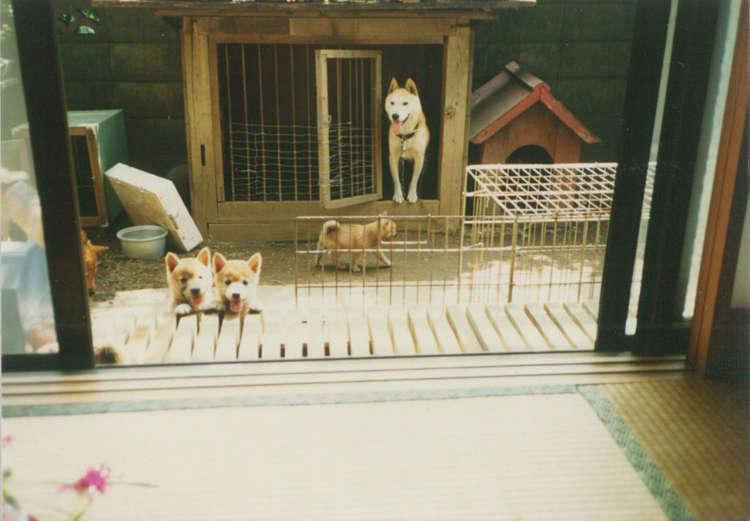 奥に見えるのは実家の父お手製の犬小屋。手先が器用な男ではないが、昔のおとーさんは犬のためにいろいろ手作りしたんだよ。