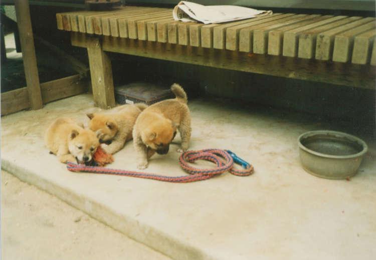 犬用のオモチャがなくても、犬たちは虫を捕まえたり穴を掘ったり、ロープやサンダルをかじったり、日々楽しく遊んでたっけ。