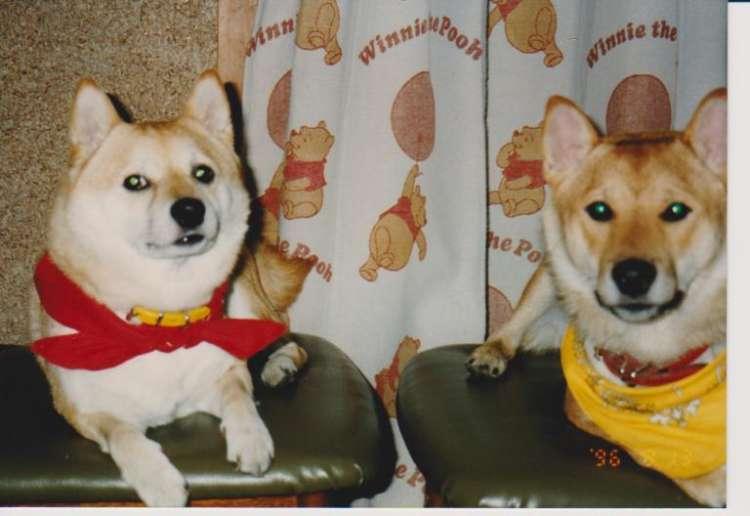 ハナとソラの実際の写真。左がハナで、右がソラ。ハナは丸顔、ソラは細めの顔だった。2匹の間の微妙な距離が柴犬らしい。