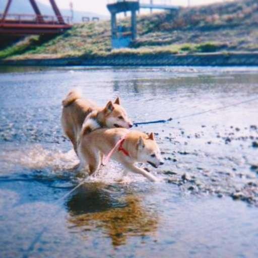 川の中を走り抜ける2匹。