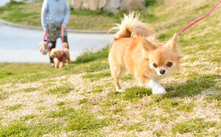 他の犬が苦手なリリコ。散歩で他の犬を見かけると吠えてしまうか、絶対自分から近寄ることはない。ひとりでのんびり歩くのが好き。