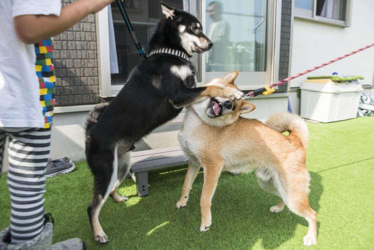 【平和な犬付き合いに必要なのは】負け犬、根性だ〜!!