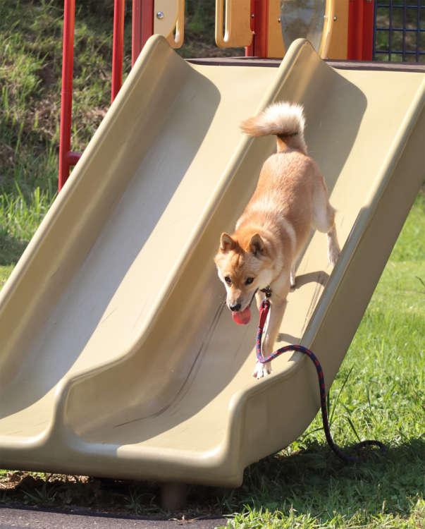 公園にある滑り台も大好き。気分が乗れば滑って遊ぶというが、この日は駆け下るだけ。でも、急斜面にはビビらない度胸は、やっぱ男のコだねぇって感じ。