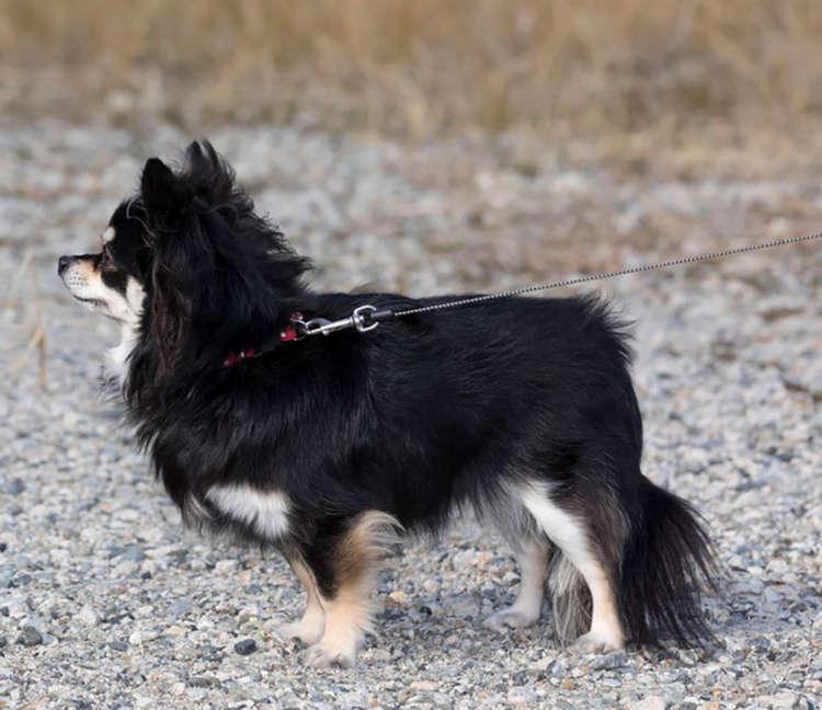 犬はシッポでもさまざまな気持ちを表現する。シッポを下げて振る場合は、敵意がないことを示している。