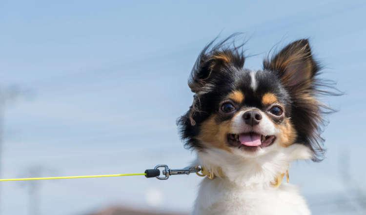 【もっと知りたいチワワのキモチ】外が苦手な犬も公園デビューから再チャレンジ! チワワが喜ぶ散歩術