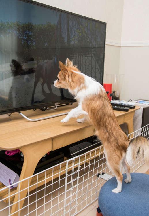 テレビを見るのが好き。どんな番組も見るが特に動物が出てくると、テレビ画面に身を乗り出して、シッポを振ってご機嫌に。