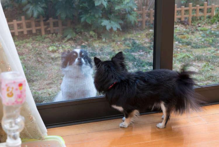 外を自由に駆ける友達犬に嫉妬?