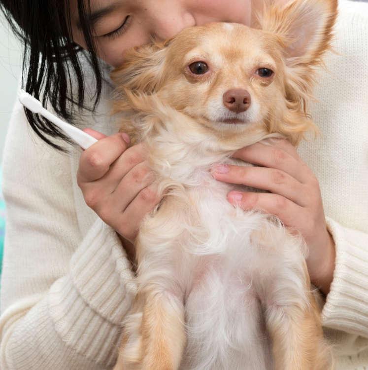 歯みがきを1日3回もできる、栞音さんに嫉妬! 羨ましそうな顔を見せる。歯みがきが好きな犬なので、飼い主はお手入れしやすくて楽ちん。