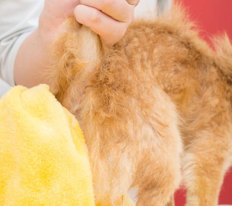 同じく忘れがちなシッポの裏側やお尻の周りも毛が豊かなコが多いので、優しく水分を拭き取ってあげよう。