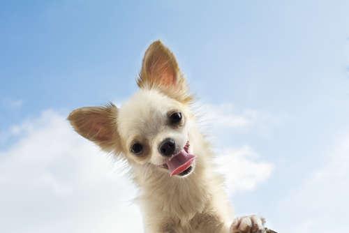 【獣医師監修】チワワがよく吠えるのはなぜ?  効果的なしつけの方法