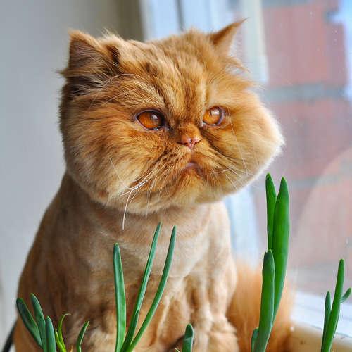 猫にネギ類を与えてはいけない理由と、口にしてしまった時の対処法