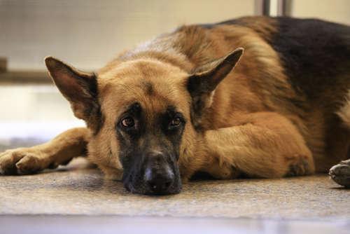 老犬の排泄ケア。介助の仕方やおむつの使用方法