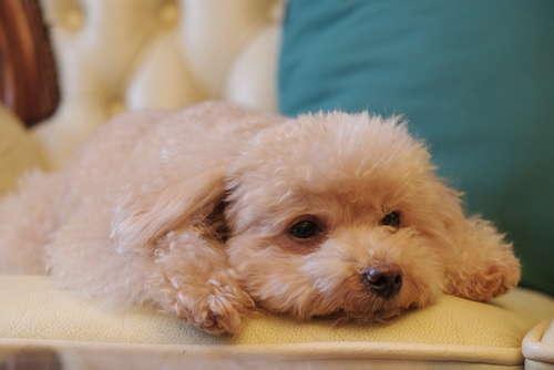 【獣医師監修】トイ・プードルの毛が薄い、毛量が少ない場合の解決方法