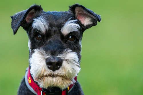 【獣医師監修】ミニチュア・シュナウザーと仲良くなるために、性格や飼い方、しつけの基本を知っておこう