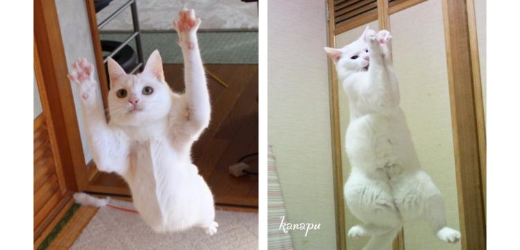 【まるで、アクション映画みたい♪】身軽すぎる白猫コンビ。その日常を覗いてみた(*´艸`*)