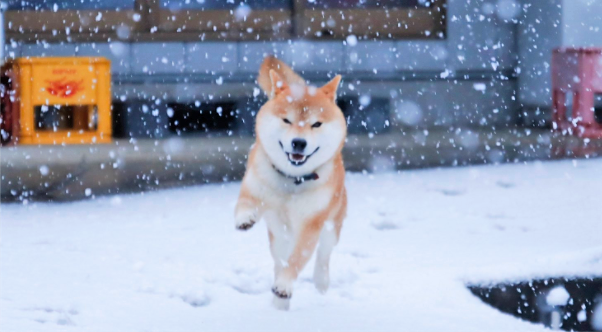 【雪が降ったワーン♪】雪の中を楽しそうに駆けまわる柴犬が、かわいいと話題に…♡
