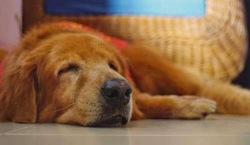 犬が甲状腺機能低下症になってしまう原因や症状から治療法と予防法
