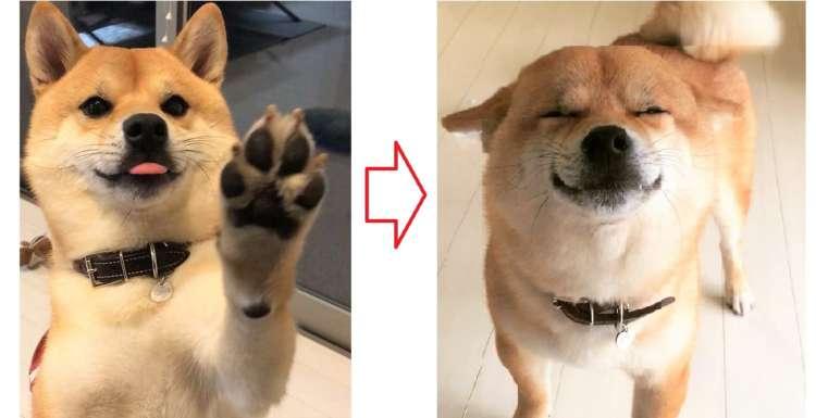 『…おかえりなさい♡ 』いつも笑顔で出迎えてくれる柴犬。その極上スマイルに、心がとろける~!