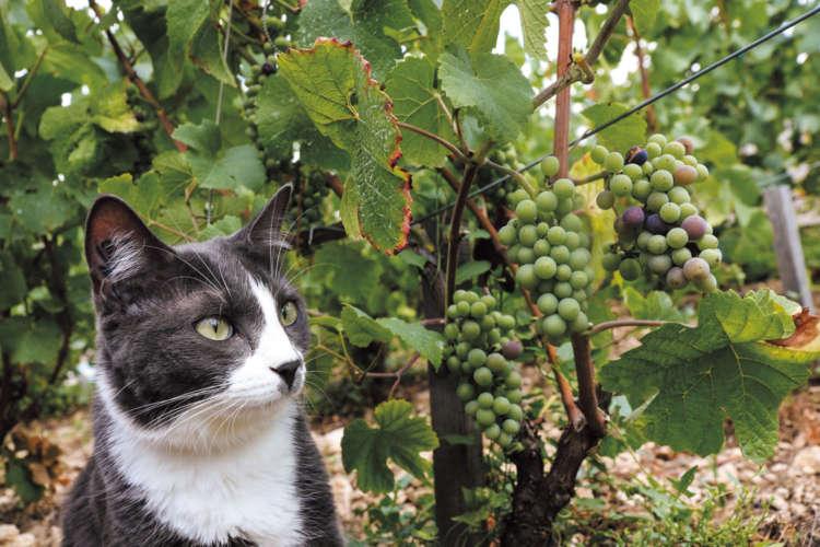 ワイナリーで暮らす「K6」という名の猫 ~フランス ブルゴーニュ地方~【from France】