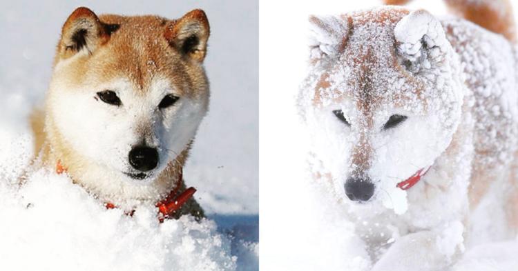 【白柴に変身♡】雪遊びに夢中になって、だんだんと白くなっていく… 柴犬のビフォーアフター( ゚Д゚)
