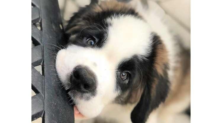 あどけない視線にキュンキュンする♪ むくむくの毛に包まれた、セント・バーナードの子犬が可愛すぎた♡