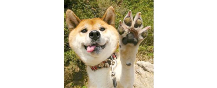 【柴犬とハイタッチ♡】舌をペロっと出して、手を上げるワンコのお茶目な姿に… ニッコリ (*´艸`)