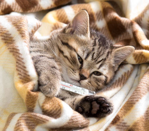 猫の熱の測り方と体温で知る体調の変化とは?