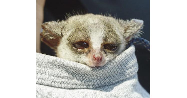 【甘えんぼうモンキー】飼い主さんの襟元から、顔を出しているのは… 小さなお猿さん♡ ( ´▽` )