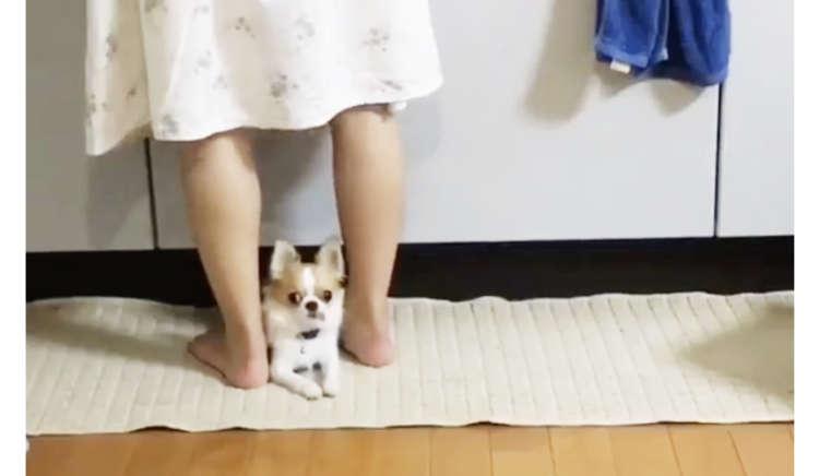 【チワワの2つのお仕事♡ 】ママの足元にぴたりとくっついて、カメラ目線を送る理由が…