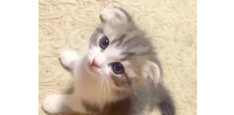 【まるで天使】ふわふわの子猫♡ じーっと見つめられると…抱きしめたくなるほど可愛かった(´;∀;`)