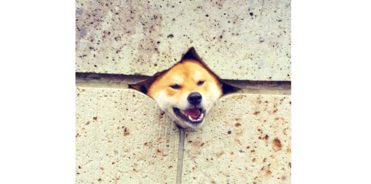 【壁から外を見守り中♪】穴から顔を出すのが好きな柴犬くん。その仕草が、たまらなく愛らしくて…♡