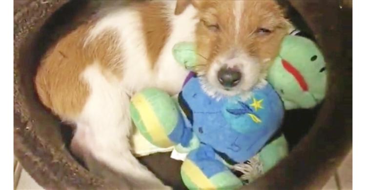 ぬいぐるみを抱いてスヤスヤ〜…zzZ 可愛すぎる子犬ちゃんの寝顔に、胸キュンが止まらない(*´Д`)