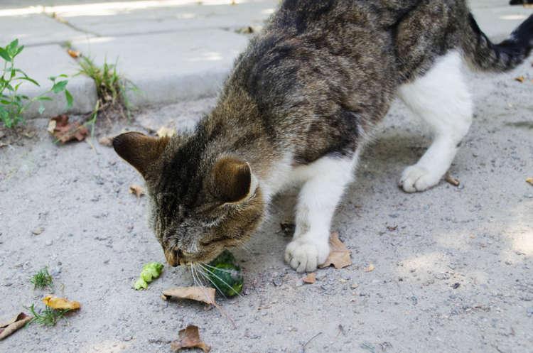 猫にきゅうりを与えても大丈夫?  猫にきゅうりを与える際のメリットと注意点