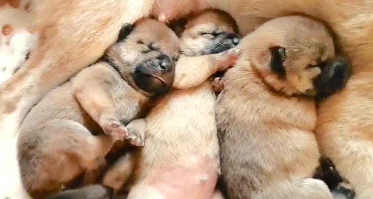 【天使すぎる!】ママ柴犬のお腹で、昼寝する赤ちゃんたち。幸せそうな寝顔にホッコリが止まらない♡