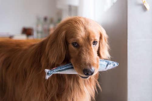 犬にブリを与えるメリットと注意点