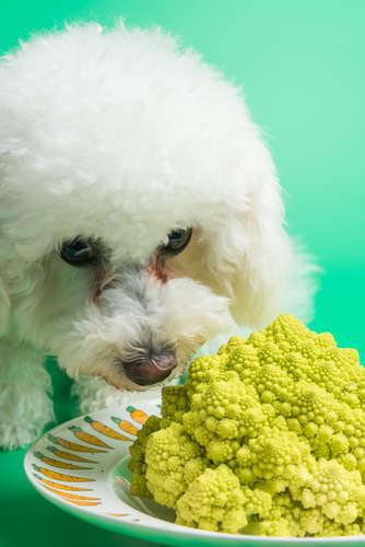 犬にカリフラワーを与えるメリットと注意点