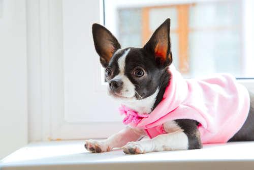 【獣医師監修】チワワにとって冬の部屋の適温は何度?  低体温症に要注意!