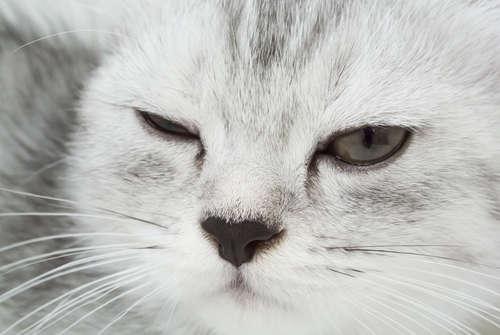 猫の眼瞼炎 考えられる原因や症状、治療法と予防法