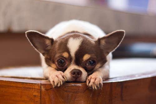 犬がゼーゼーと息をしてしまう気管虚脱の原因と対策