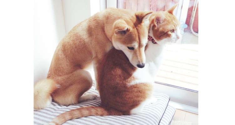 【柴犬とニャンコ】どんな時でも一緒にいたいの♪ いつでもピッタリ密着する、仲良しなふたり(´ω`*)